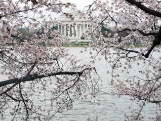 **FILE** The splendor of D.C.'s cherry blossoms (Shevry Lassiter/The Washington Informer)