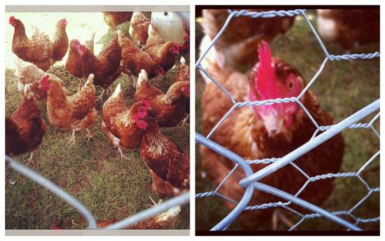 Clutches of Cornish Croft chickens.