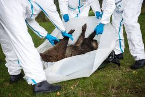 COVID-19 May Have Been Rendered More Probable By The Presence Of African Swine Fever