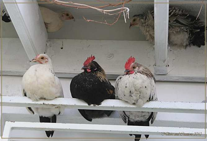 Chicken Roosting Poles