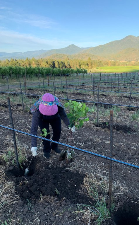 Planting New Vineyards at Troon - Hands