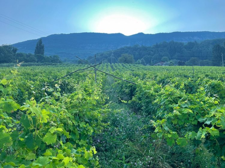 The Forest Dreams of the Savoie Vine: The Wines of Domaine Curtet