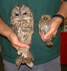 Tawny owl and Little Owl being handled big eyes