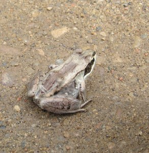 Canada toad
