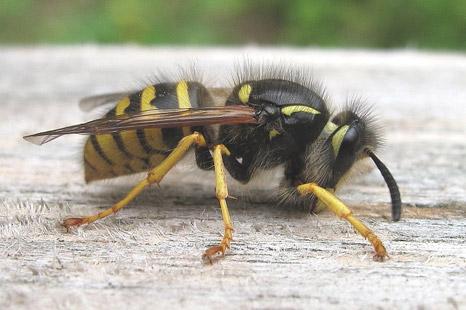 wasp01 - Wasps