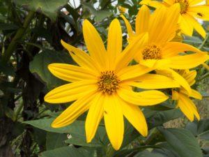 Topinambur (Heliantus tuberosa) kann ihre Verwandscahft mit der Sonnenblume (Helinathus annuus) nicht verleugnen