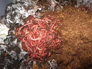 "Image illustrates the question of; ""What is Vermicomposting?"""