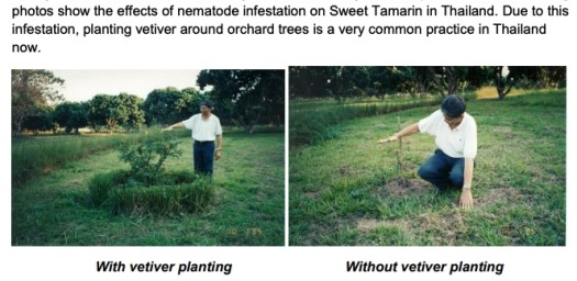 Vetiver repels insect pests