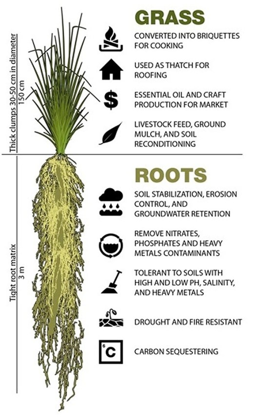 The Uses of Vetiver roots and grass