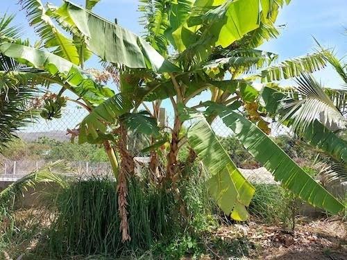 Vetiver in dry season