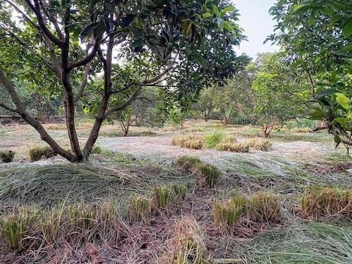 Vetiver in orchard