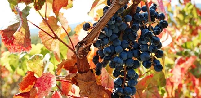 العلماء يكشفون فائدة غير متوقعة للعنب.. يكافح سرطان الرئة