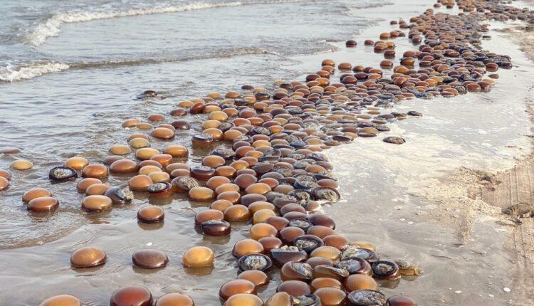 قنديل البحر في سلطنة عمان