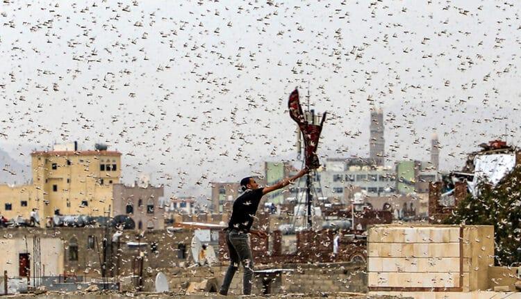 الجراد يهاجم مسقط في سلطنة عمان