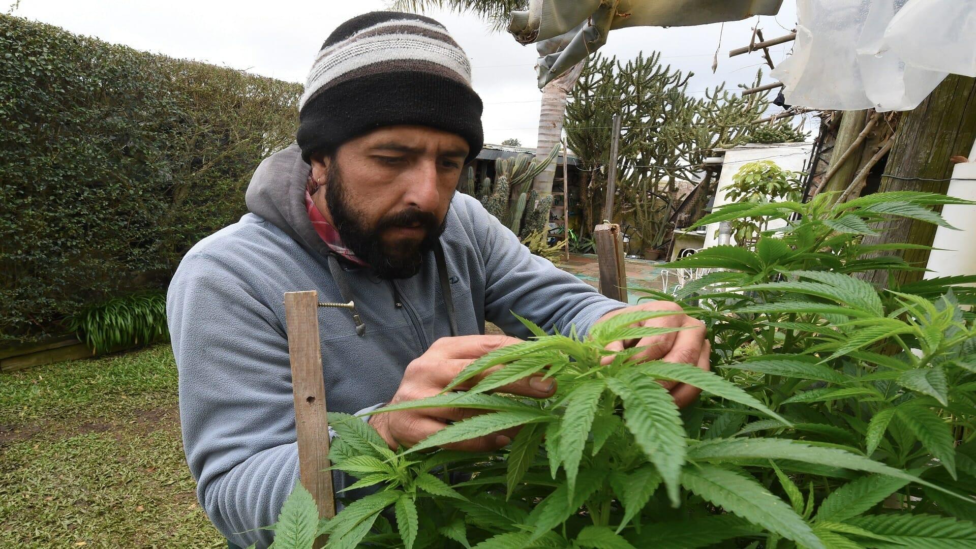 المغرب يقنن زراعة القنب الهندي لأجل الاستخدامات الطبية