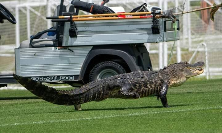 تمساح يقتحم ملعب نادي تورنتو الأمريكي