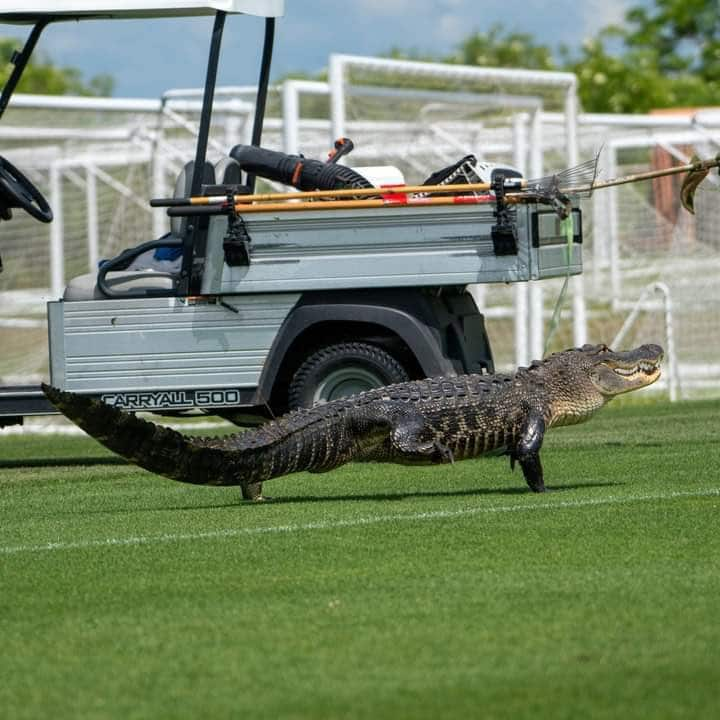"""بالفيديو: تمساح يقتحم ملعب """"تورونتو"""" الكندي ويثير الرعب وذهول اللاعبين"""