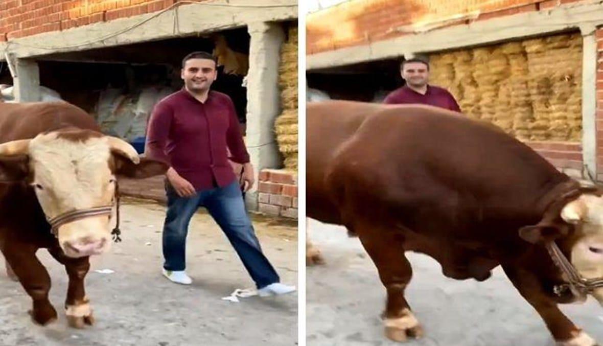 بقرة الشيف بوراك تنطح مصوره الخاص  (فيديو)