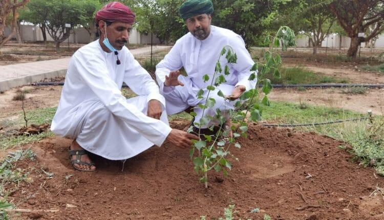 شجرة فريدة من نوعها في سلطنة عمان