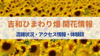 吉和ひまわり畑2020の見頃はいつまで⁈開花状況・アクセス・混雑状況は⁈
