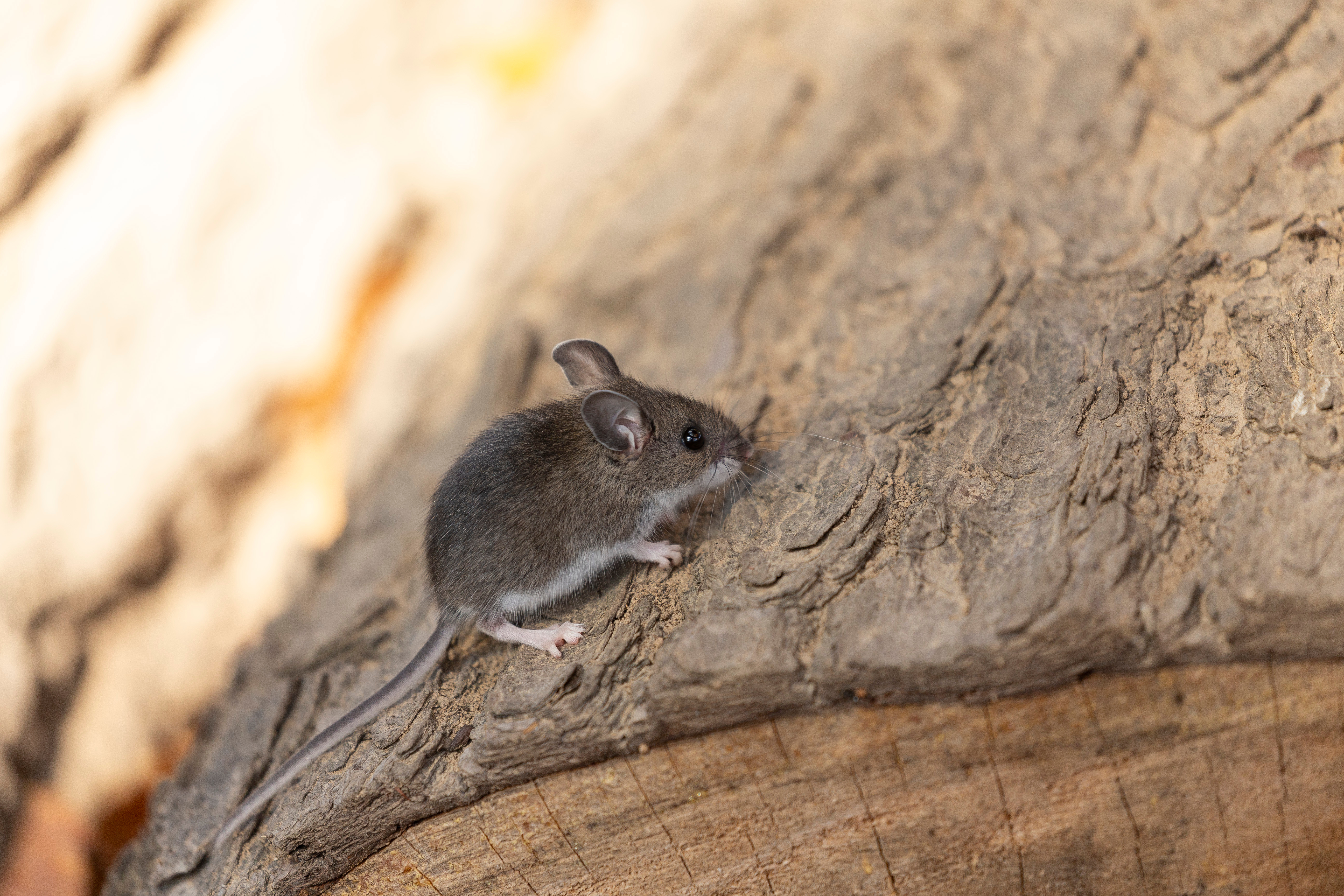 Rodents of Arizona: the Deer Mouse and the House Mouse - Phoenix ...