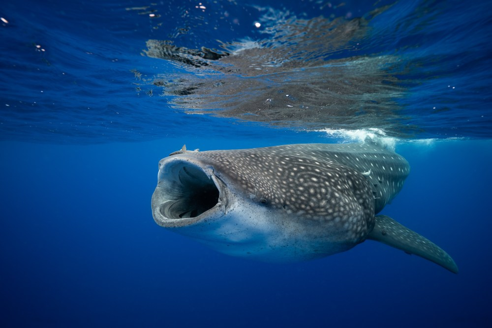 A big fish/whale