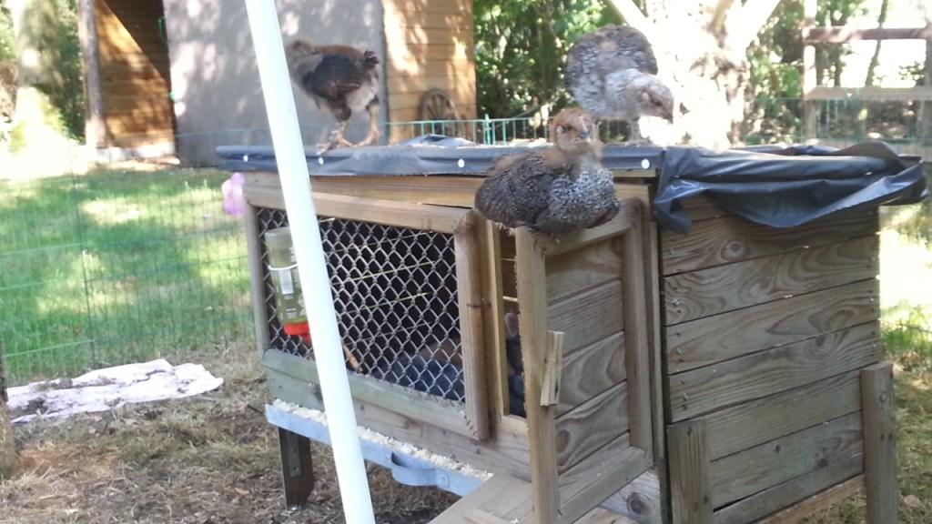 Kleine kuikens worden groot, en nemen het konijnenhok over