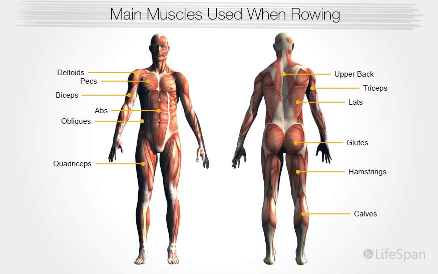muscles-used-rowing-graphic