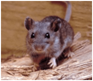 Hantavirus in North America: Rare but Deadly - Water Quality and ...