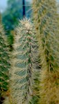 Kew cactus pattern P1050677