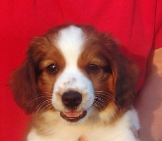 Kooiker Puppy Braam