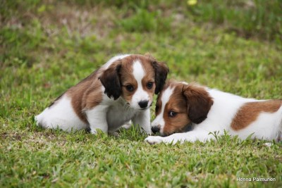 tired kooiker puppies