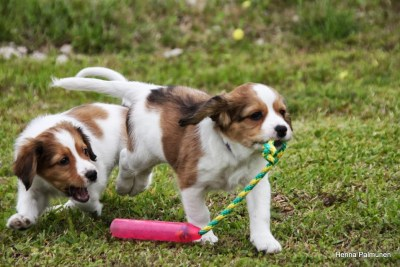 kooiker puppies Finn and Luke