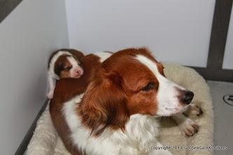 kooikerhondjes, Kooikers, kooiker puppy, kooikerhondje