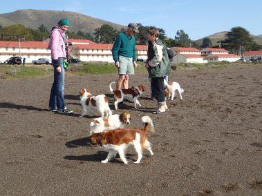 Kooikers at the Beach