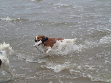 Kooikerhondje Flying Finn at the beach