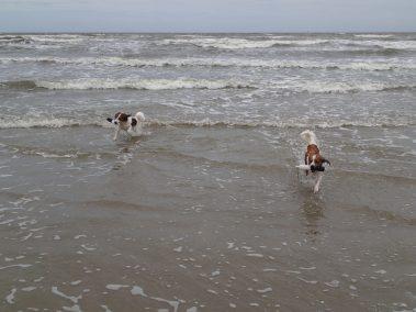 OKooikerhondjes Astro and Finn retrieving at the beach in Galveston, TX