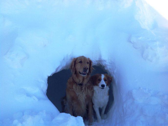 kooikerhondje, kooikerhondjes, kooiker in the snow, kooiker,