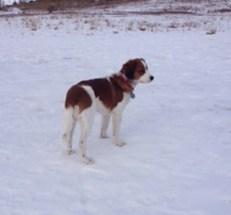 kooiker, kooikers, kooikerhondjes, kooikerhondjes in the snow, kooiker,