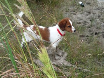 Kooikers, kooiker, nederlandse kooikerhondje, kooikerhondje,Waterbound Kooikers, waterbound, puppy, dog, spaniel