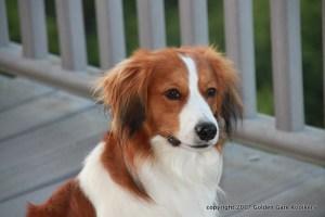 kooikerhondje, Kooiker, Waterbound Kooikerhondje, Nederlandse kooiikerhondje, kooikerhondje puppies, puppies, spaniel, dutch decoy dog, puppies