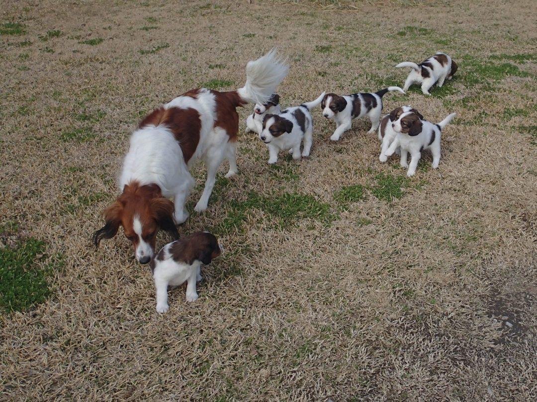 Waterbound Kooiker puppies