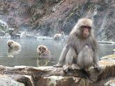 Yamanouchi Onsen Snow Monkeys