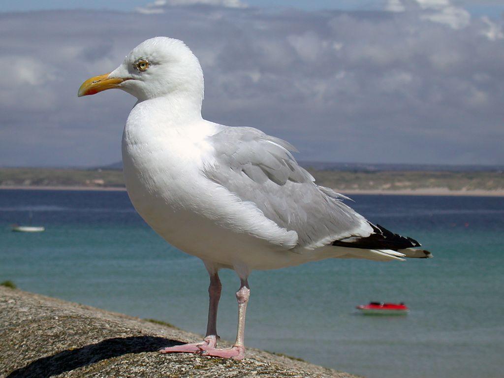 Waterfowl Photos Duck Photos Geese Photos Seagulls
