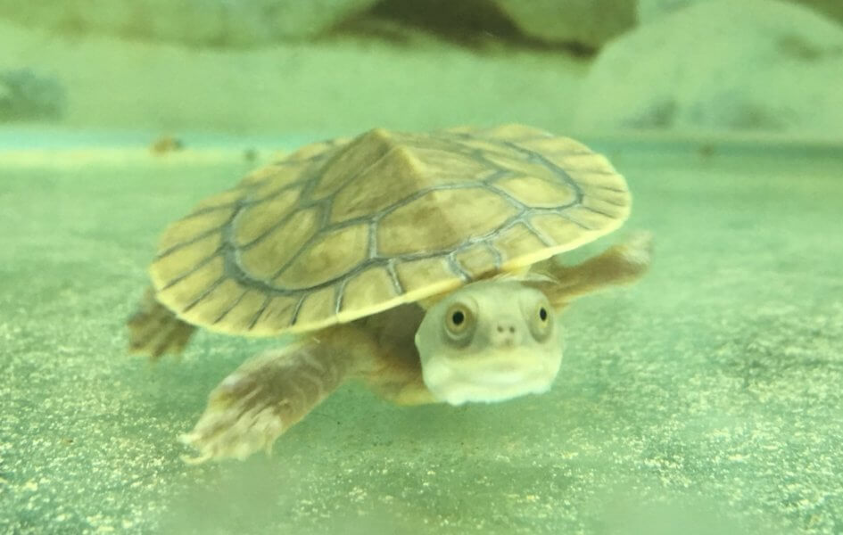 Baby Pet Turtle Melbourne - Swimming Turtle