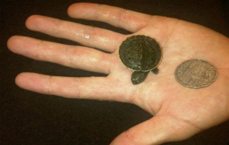 Baby Pet Turtle Melbourne - Penny Turtle