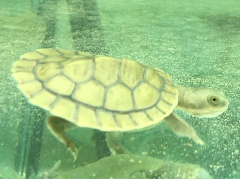 Baby Pet Turtle Melbourne in Turtle Aquarium