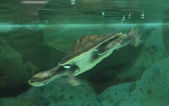 Baby Turtles For Sale - Turtle in Aquarium