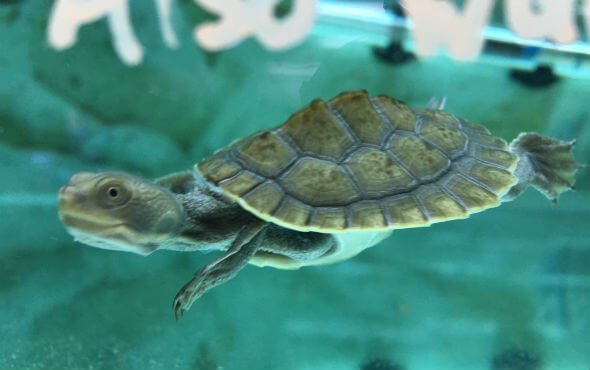 Baby Turtles For Sale - Adorable Turtle