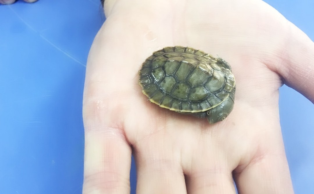 Baby Turtles For Sale - Turtle on Palm
